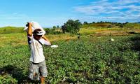 Ang Pag-ani ng mga Residente ng Sitio Kimpatubbog, Brgy. Poblacion, Suyo Ilocos Sur